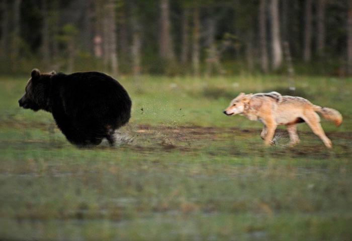 lobo-y-oso-conviviendo-1
