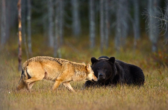 lobo-y-oso-conviviendo-2