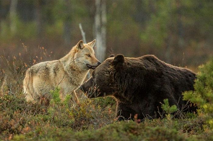 lobo-y-oso-conviviendo-3