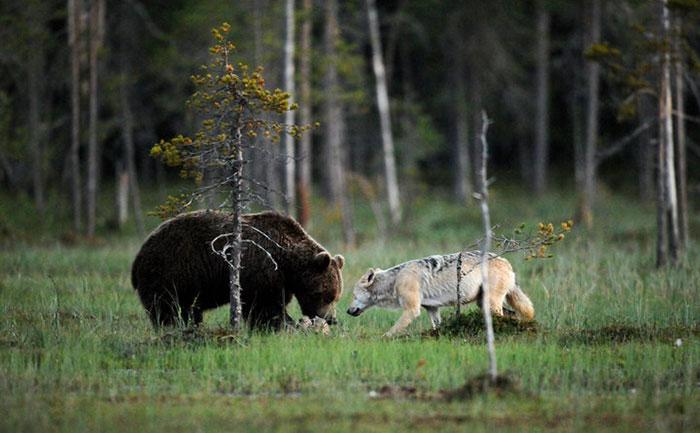 lobo-y-oso-conviviendo-4