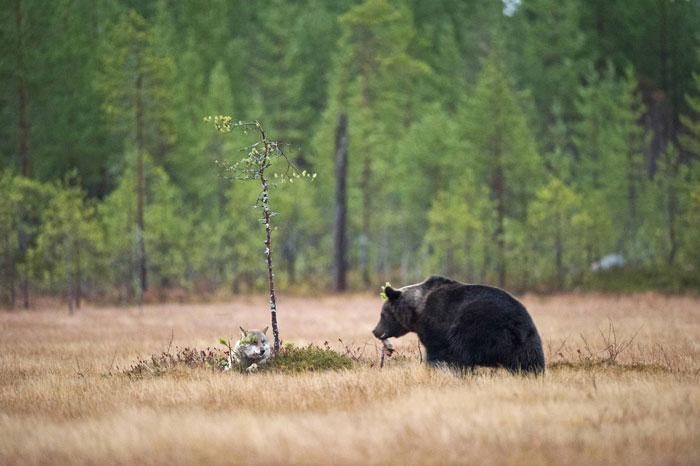 lobo-y-oso-conviviendo-5