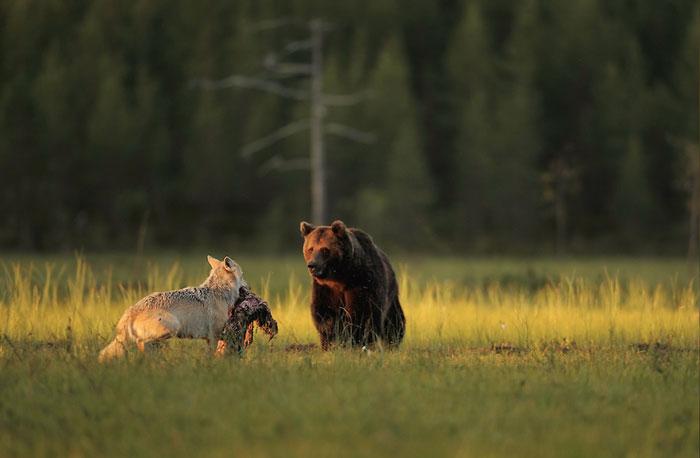 lobo-y-oso-conviviendo-6