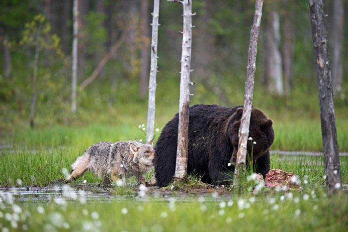 lobo-y-oso-conviviendo-7