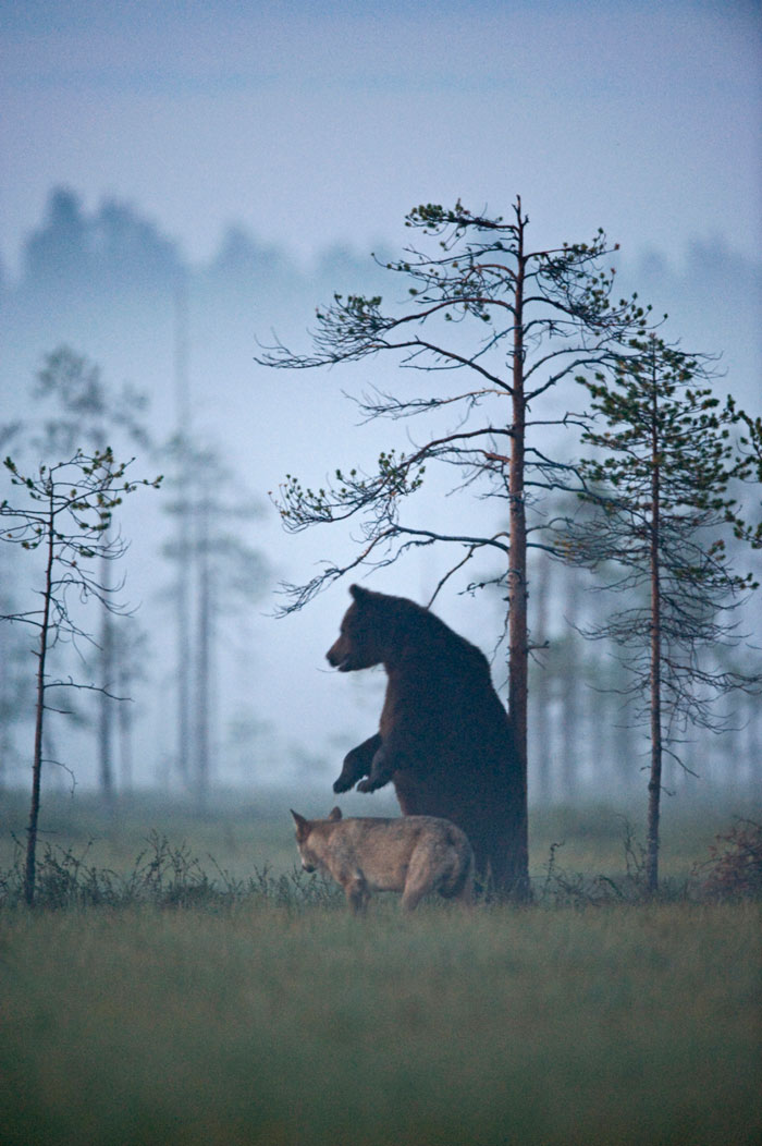 lobo-y-oso-conviviendo-8
