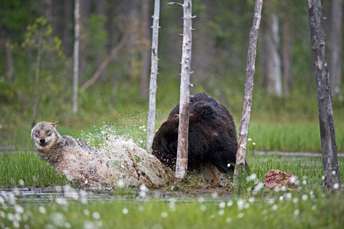 lobo-y-oso-conviviendo-9
