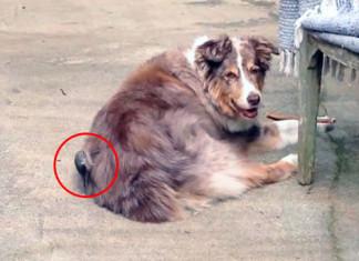 pájaro usa el pelo de un perro