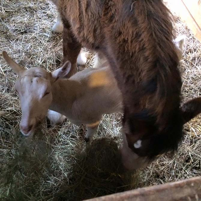 Caballo y cabra son familia