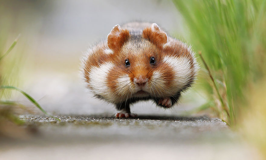 hamsters-muy-adorables-1