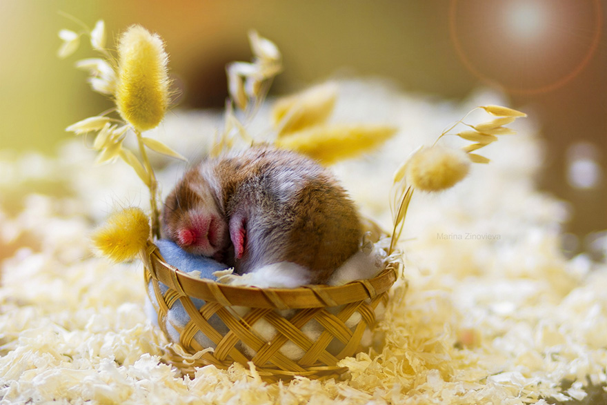 hamsters-muy-adorables-11