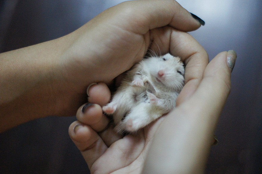hamsters-muy-adorables-12