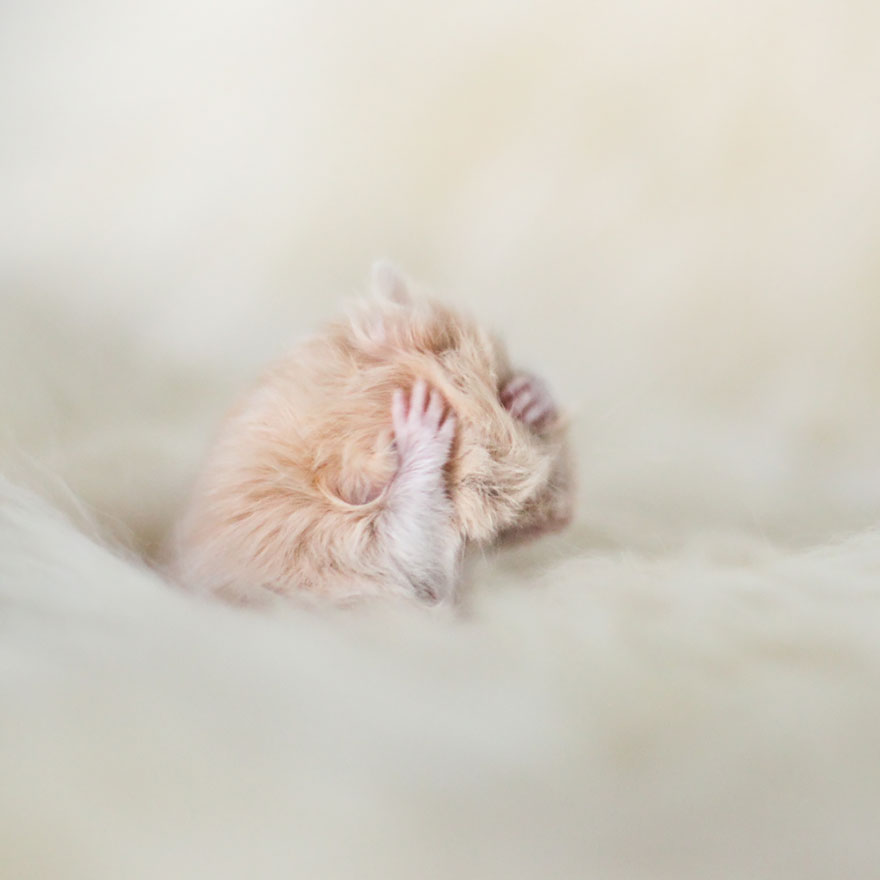 hamsters-muy-adorables-13