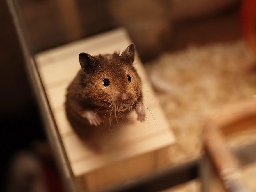 hamsters-muy-adorables-2