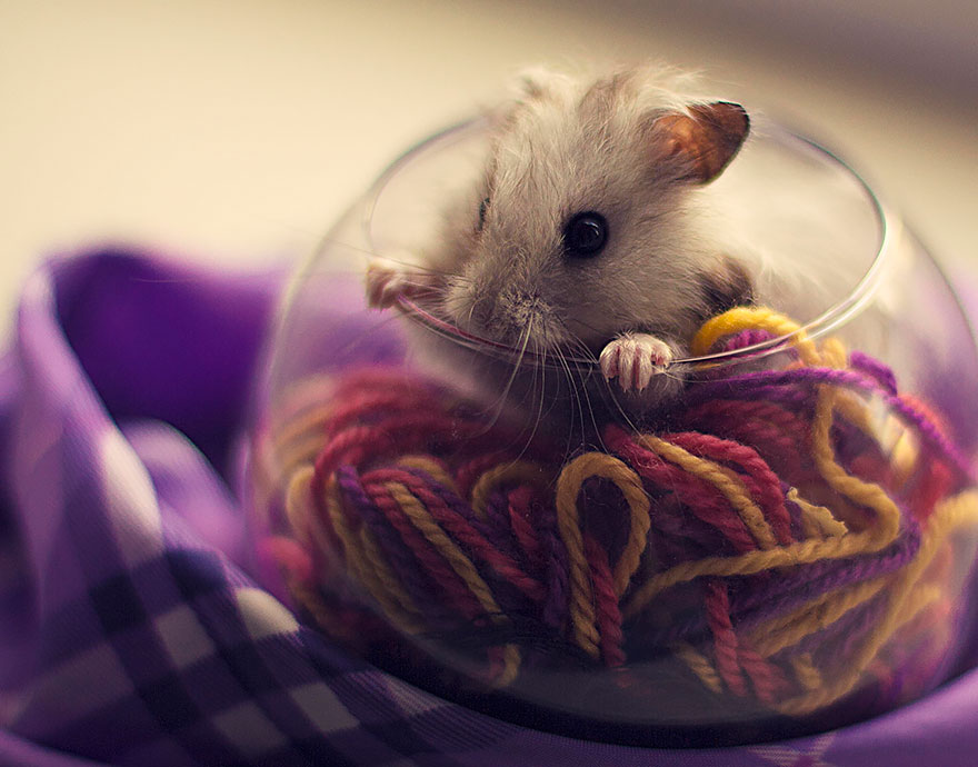 hamsters-muy-adorables-7