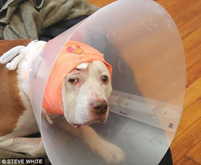 perro-recibe-una-bala-defendiendo-a-su-humano-1