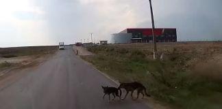 Perro salva a otro perro de ser atropellado