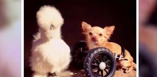 un pollo y un perro rescatados