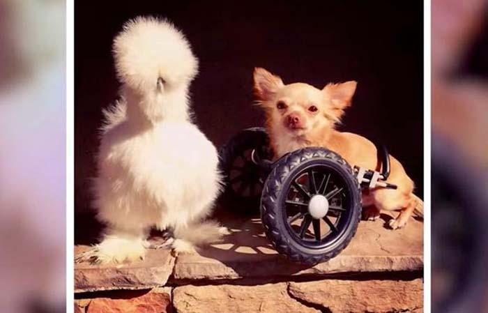 pollo-y-perro-rescatados-1