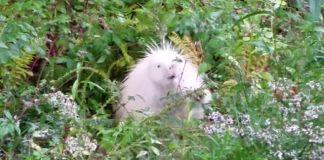 puercoespín albino