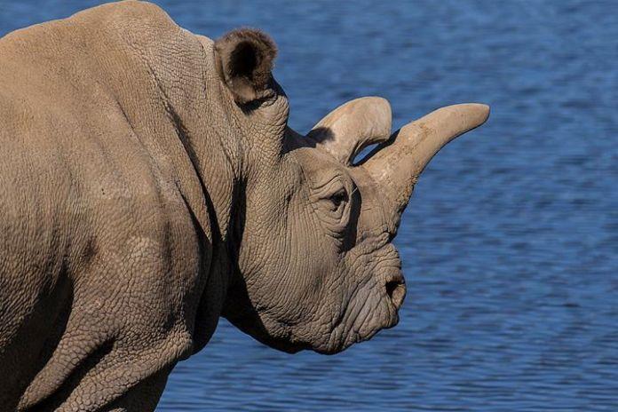 rinoceronte blanco enferma