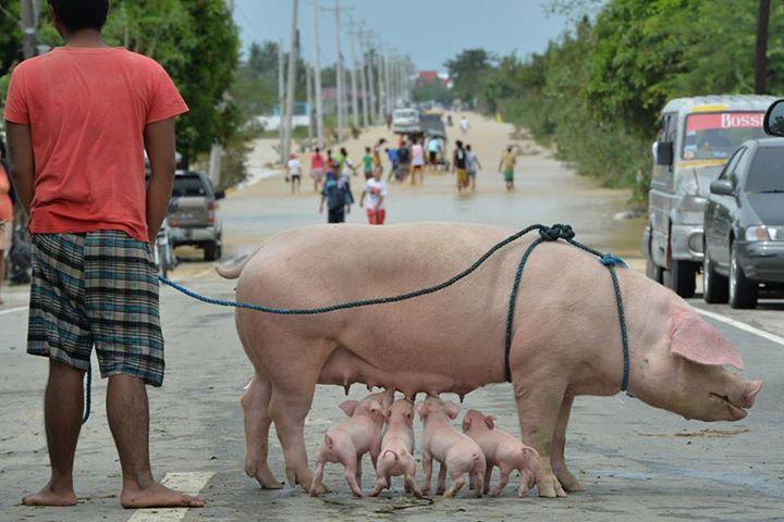 animales-victimas-del-tifón-koppu