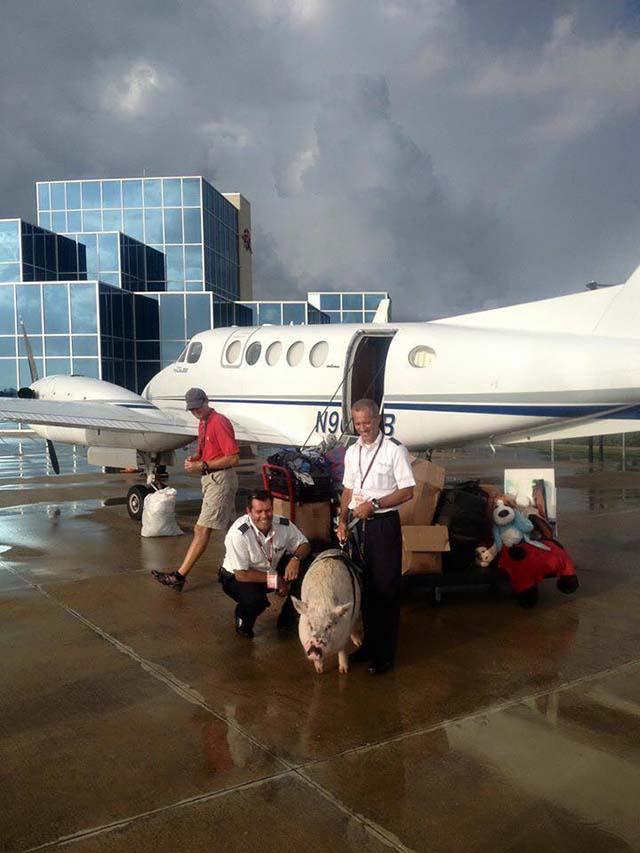 cerdo-grande-necesita-avión-privado-3