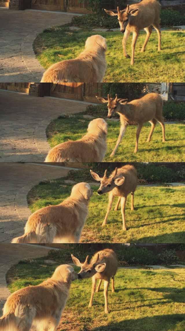 ciervo-inclina-su-cabeza-para-besar-al-perro-2