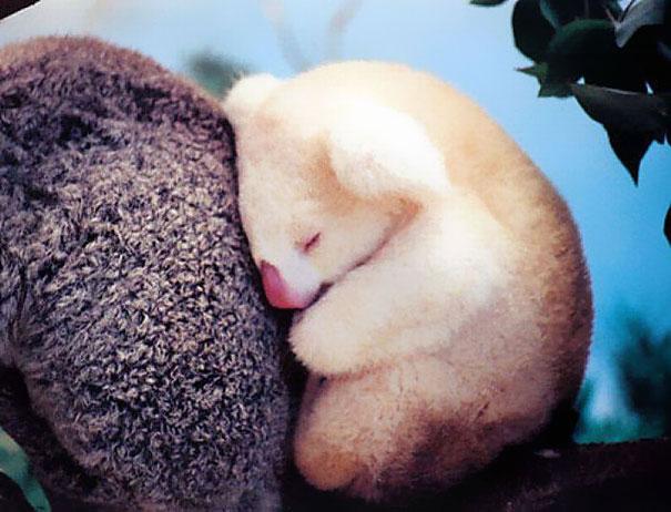cachorro koala albino