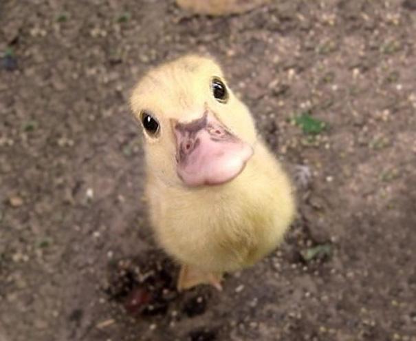 Cría de pato