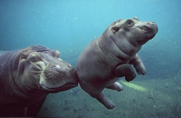 cría de hipopotamo