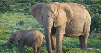 elefante-africano-notasdemascotas