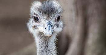 emu-aves-notasdemascotas