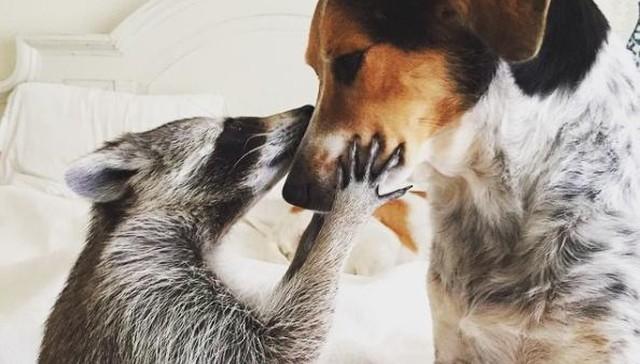 Mapache vive con perros