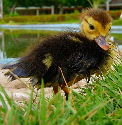 pato-persigue-humanos