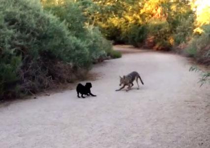 perro y coyote juegan juntos