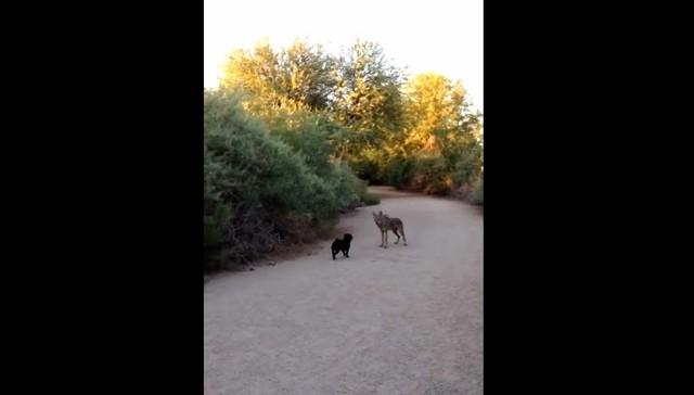 perro y coyote se reúnen para jugar