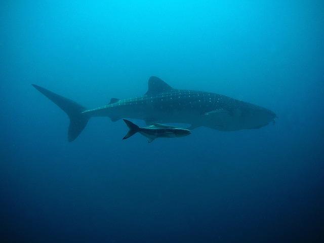 tiburón y su cría
