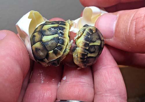 tortugas-gemelas-1