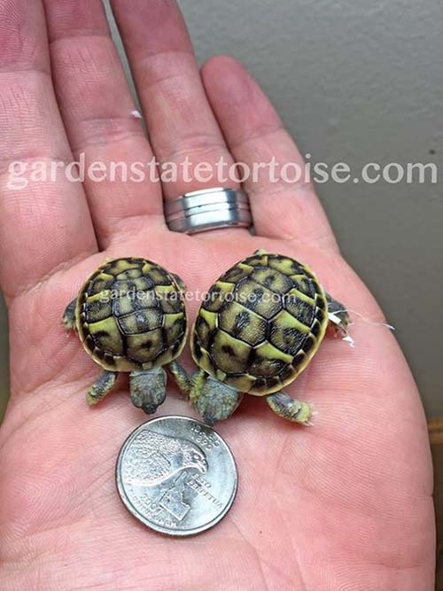 tortugas-gemelas-3