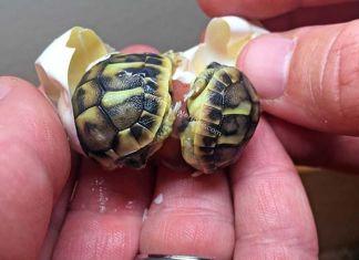 tortugas gemelas