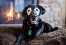 Perro con vitiligo luchador
