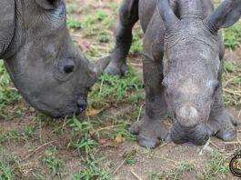 Rinoceronte huérfano no para de perseguir a su cuidador