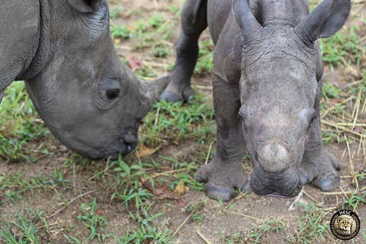 Rinocerontes Stompie y Balú
