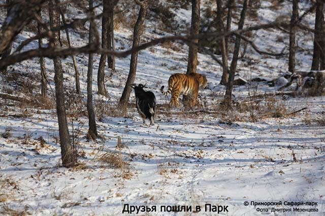 cabra sigue al tigre Amur