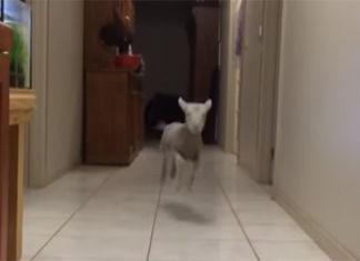 cordero salta y corre cuando escucha su nombre