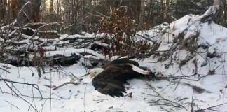 hermanos salvan un águila calva atrapada en una trampa