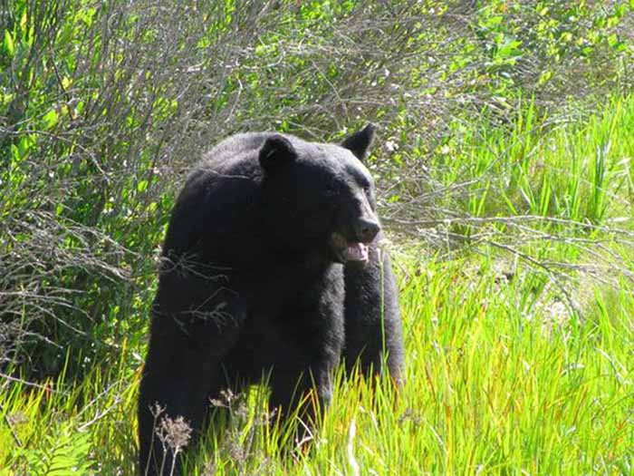 oso dejado en libertad en Osceola National Forest