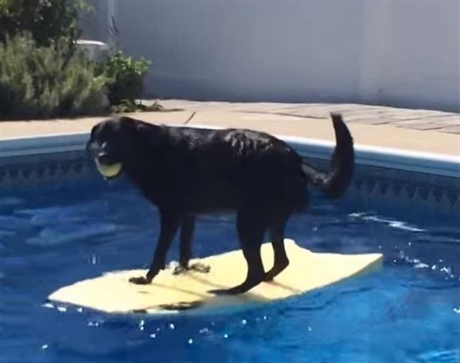 Perro agarra una pelota de tenis en la piscina sin sumergirse for En pelotas en la piscina