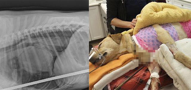 Perro atravesado por una varilla de acero se recupera satisfactoriamente