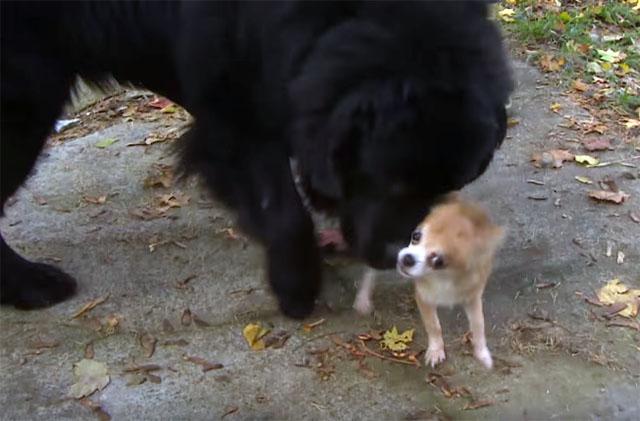 Pequeño perro salvó a su hermano mayor de ser robado
