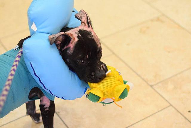 perro sobrevivió a un incendio y ahora busca hogar